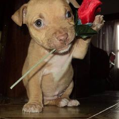 pit puppy with a rose