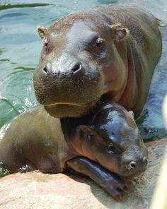 Mom and baby hippo :)
