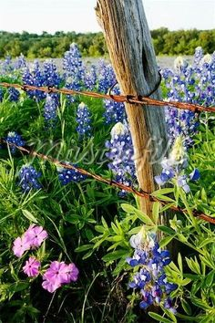 Bluebonnets and Phlox Near Wire Fence, Texas Hill Country, Texas, USA - Stock Photos : Masterfile - Modern Design Country Fences, Rustic Fence, Country Roads, Texas Hill Country, Country Life, Country Living, Old Fences, Wooden Fences, Texas Bluebonnets