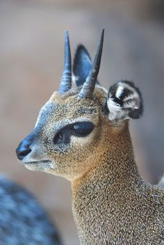 the Kirks dik dik is a small antelope found in southwestern Africa