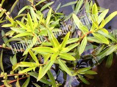Mermaidweed (Proserpinaca Palustris) - Submerged Oxygenating Pond Plants