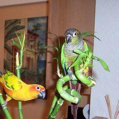 Sun Conure/ Green cheek conure/ parrots Homemade Bird Toys, Diy Bird Toys, Diy Toys, Cockatiel, Budgies, Parrots, Birds 2, Love Birds, Pet Birds