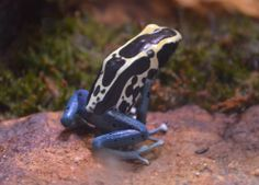Blue frog Reptiles And Amphibians, Frogs, Cute, Animals, Animais, Animales, Animaux, Kawaii, Animal