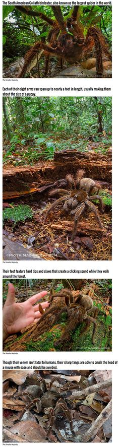 EDIT: The Goliath Birdeating spider is the SECOND biggest spider in the world, to the Australian Giant Huntsman Spider.