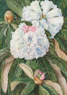 234. Foliage and Flowers of the Indian Rhododendron grande. Prints by Marianne North | Magnolia Box