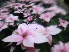 """Poinsettia called """"Princetiia"""""""