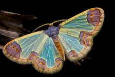 Unidentified Moth photographed by Paul Bertner in Udzungwa Mountains, Tanzania in October 2014 Cool Insects, Flying Insects, Bugs And Insects, Papillon Butterfly, Blue Butterfly, Beautiful Creatures, Animals Beautiful, Cute Animals, Beautiful Bugs