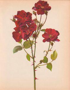 Art+Print+Wall+Decor+Vintage+Botanical+Illustration++by+AgedPage