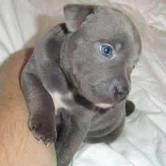 a blue Staffordshire Bull Terrier