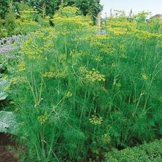 Dill.  Garden with the chives. The plants thrive in rich, loose soil and a very sunny location.  Average height is 3ft.