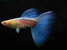 Sky Blue Albino Guppy