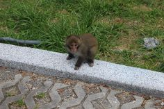 Formosan rock macaque, Yu-shan National Park, Taiwan