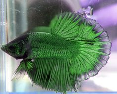 this emerald green beta fish is glorious! How unusual!
