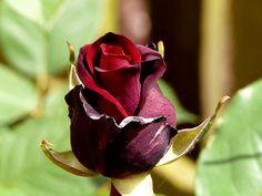 """""""Blood Red"""" Rose"""