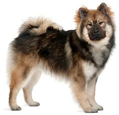 Eurasier - I want one of these so badly