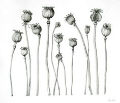 drawing poppy seed heads - Google Search
