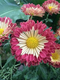 Wow 💕 look at this Chrysanthemum! Flora Flowers, Unusual Flowers, Wonderful Flowers, Flowers Nature, Pink Flowers, Beautiful Flowers, Flor Magnolia, Blossom Garden, Flower Images