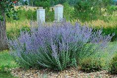 Perovskia atriplicifolia Russian Sage
