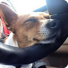 Seguin, TX - Welsh Corgi/Jack Russell Terrier Mix. Meet Rosebud, a dog for adoption. http://www.adoptapet.com/pet/12412822-seguin-texas-welsh-corgi-mix