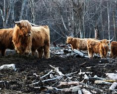 Cows 4:  Shaggy Cows in Woodlot