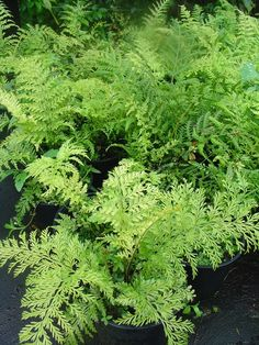 Hens and chickens fern ( Asplenium Bulbiferum ) - Safe for cats - bouture par feuille
