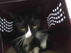 MI NINA - A1091540 - - Brooklyn   *** TO BE DESTROYED 10/15/16 *** BEGINNER RATED, KID & CAT FRIENDLY!! A winning combination except that MI NINA's owner decided they had too many pets……And of course the reason they had too many pets was that they didn't spay/neuter. MI NINA came in lactating but with no kittens….MI NINA is a lovely little family cat who enjoys playing and being with her owner…..SHE IS EASILY ADOPTABLE AND SHOULD BE