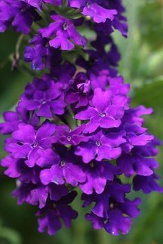 Verbena What beautiful flowers. I have these @ my driveway entrance...so beautiful!