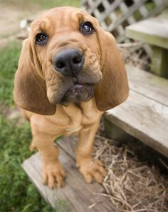 Comical expression on the face of this adorable bloodhound puppy!