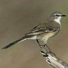 The well known garden visitor - the Cape wagtail Small Birds, Little Birds, Colorful Birds, Pet Birds, South African Birds, Parus Major, African Animals, Parakeet, Wild Birds