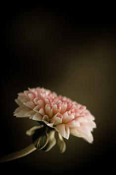 ❈ Fleurs Foncées ❈ dark art photography flowers botanical prints - blossom