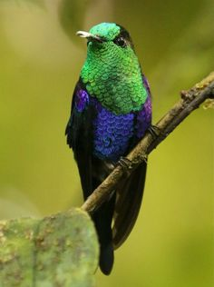 Green-crowned Woodnymph, photographed  in Milpe/Ecuador