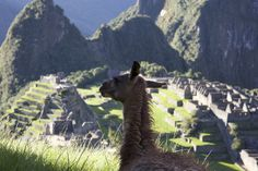 Llama with a View
