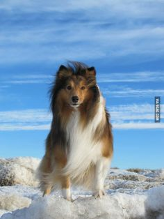 The Shetland Sheepdog originated in the and its ancestors were from Scotland, which worked as herding dogs. These early dogs were fairly Cute Puppies, Cute Dogs, Dogs And Puppies, Doggies, Sweet Dogs, Shetland Sheepdog Puppies, Herding Dogs, Rough Collie, Oragami