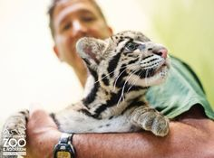 Clouded Leopard cub http://www.zooborns.com/zooborns/2013/09/clouded-leopard-point-defiance-zoo-.html