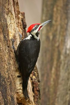 Pileated Woodpecker, by Gregg Thompson