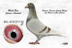 Cute Pigeon, Pigeon Pictures, Palomar, Racing Pigeons, Animals Beautiful, Pet Birds, Colours, Beauty, Horse Stalls
