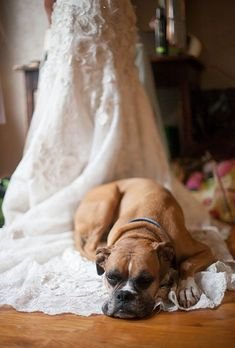 A Boxer lays down for a quick nap before the reception starts — unfortunately, it's on the bride's train!