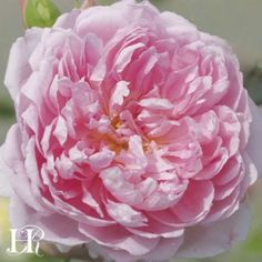 """The Ingenious Mr. Fairchild™️ rose.  Large, peony like roses of deep pink touched lilac with a paler lilac on the outside of the fringe-like petals. Growth is spreading and arching into a well-rounded, mounding continual blooming bush. A strong fruit-fragrance with tones of raspberry, peach and a hint of mint. 3 1/2"""" bloom with 41 petals."""