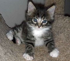 Maine Coon Mix Cats For Adoption Everything you need to know about how to adopt a cat, bringing your new cat home, cat health and care and more! Kittens And Puppies, Baby Kittens, Kittens Cutest, Cute Cats, Cat Enclosure, Reptile Enclosure, Munchkin Cat, Cats For Sale, French Bulldog Puppies