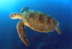 Swordfish Drift Gillnet Fishery Restricted to Protect Loggerhead ...