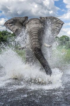 Elephant charges through the water towards photographer Ben Cranke