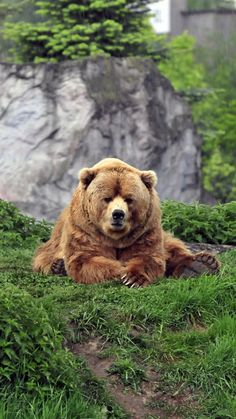 1080x1920 Wallpaper bear, brown, grass, funny, lie