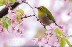 Japanese white eye... My next tattoo?!?!