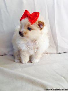 CKC Pomeranian Puppies - Classified Ad