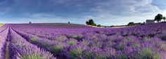 Lavender panorama by Ana Tramont on 500px