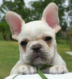 """The French Bulldog is a small breed of domestic dog. """"Frenchies"""" were the result in the of a cross between bulldog ancestors imp. Cãezinhos Bulldog, French Bulldog Puppies, French Bulldogs, Cream French Bulldog, Mini Bulldog, Cute Puppies, Cute Dogs, Dogs And Puppies, Doggies"""