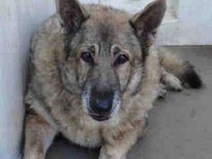 Senior German Shepherd needs rescue/foster, at high kill California facility, Carson    Impound No: A4483368  Impound Date: 9/3/2012  Sex: Male  Primary Breed: GERM SHEPHERD  Age: 12 Years, 0 Months  Location: CARSON  Cage No.: C301    Please repin
