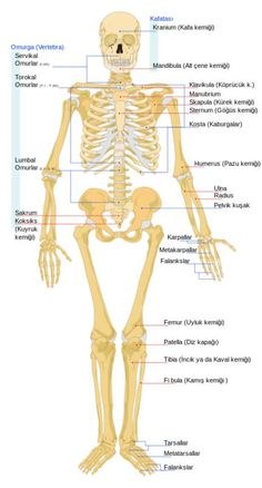 Human skeletal system - Human skeletal bones - and skeletal system functions Human Body Anatomy, Human Anatomy And Physiology, School Scout, Human Skeleton Bones, Bones Human, Skeletal And Muscular System, Biology For Kids, Human Body Facts, Musculoskeletal System