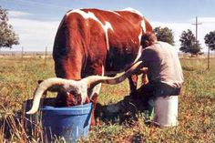 Texas Longhorn milking cow Longhorn Cattle, Round Pen, Dairy Cattle, Texas Longhorns, Horse Farms, Old West, Four Legged, Farm Animals, Dogs And Puppies