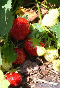 Rakas vanha valkoinen taloni Find Image, Strawberry, Fruit, Strawberry Fruit, Strawberries, Strawberry Plant